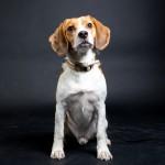 Beagle Kees als fotomodel